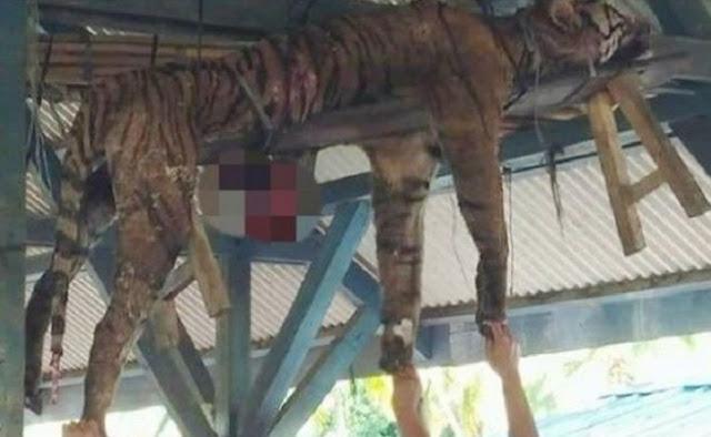 Seekor Harimau Sumatera di Bunuh Karena Meresahkan Warga