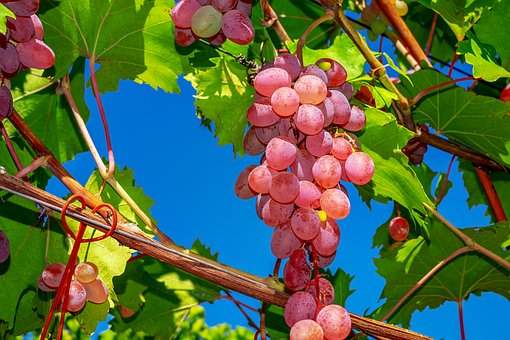 5 Manfaat Buah Anggur yang Sayang Jika Dilewatkan