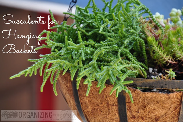 Succulents for Hanging Baskets :: OrganizingMadeFun.com
