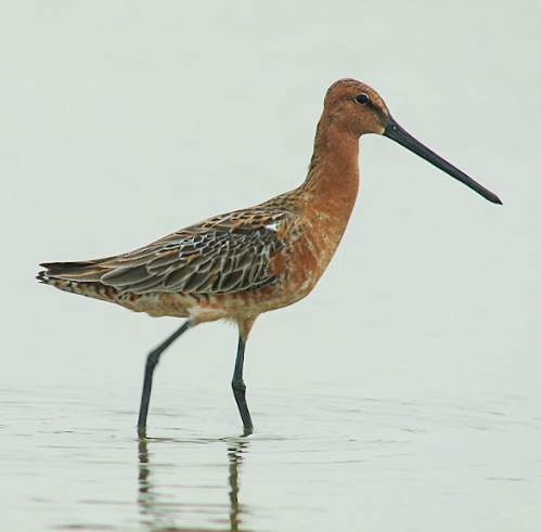Birds of India - Photo of Asian dowitcher - Limnodromus semipalmatus