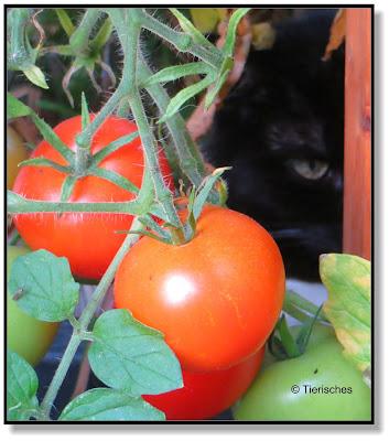 Katze im Tomatenkasten
