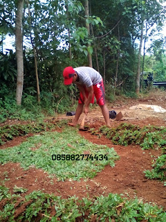 tukang taman menjual rumput gajah mini paling murah berpengalaman dan bergaransi