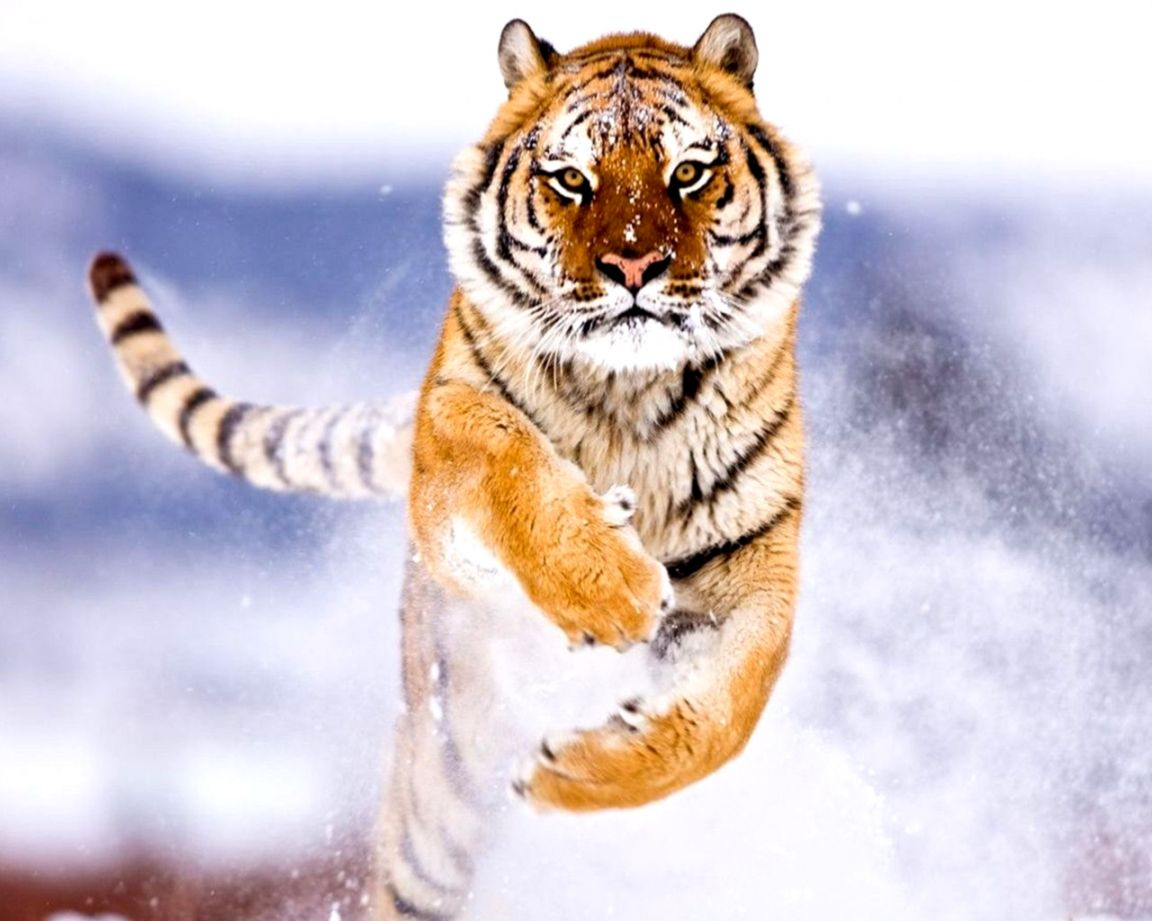 Angry Tiger Wallpaper Hd Mobile Wallpapers