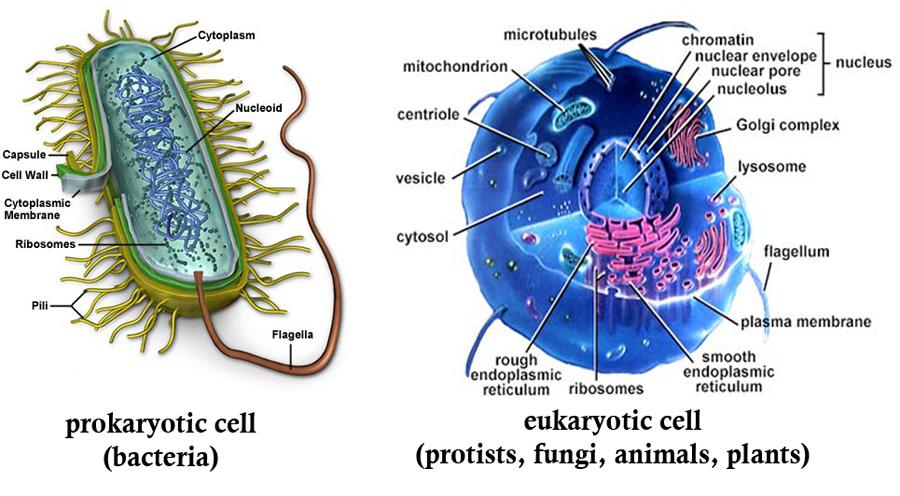 Citozolis ir citoplazma