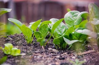 kandungan daun bayam untuk kesehatan tubuh
