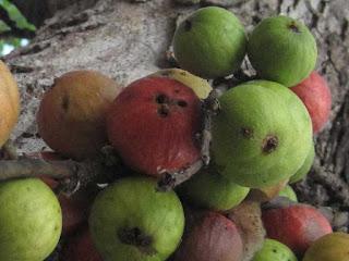 cluster fig fruit images