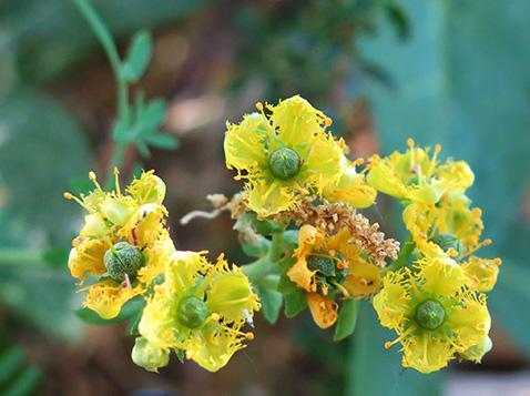 Ruda (Ruta chalepensis) flor silvestre amarilla