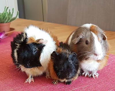 meerschweinchen-verstehen: Meerschweinchengruppe Meerschweinchen Muck, Hope und Holly