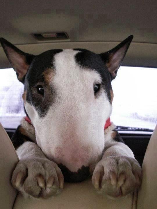Q Es Un Bull Terrier Su aspecto es agresivo e