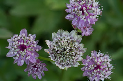 Astrantia major – Greater Masterwort (Astranzia maggiore)