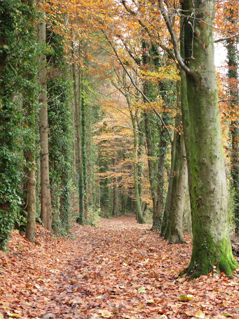 Straight path through mature beech woods; trees on the left with ivy up trunks