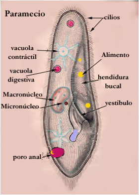 Protistas reproduccion asexual artificial