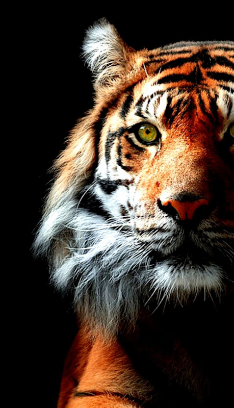 free pc tiger wallpapers 3d hd download
