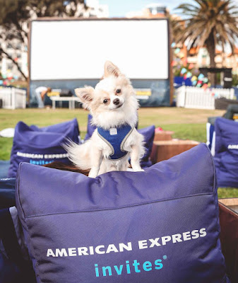 White Chihuahua tilts its head standing on a beanbag at the American Express Openair Cinemas VIP Lounge