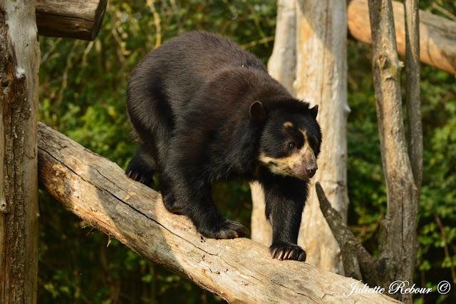 Ours à lunette au Bioparc Doué-la-Fontaine