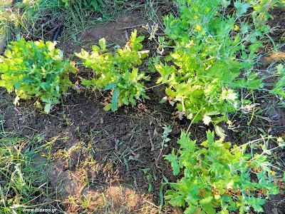 χελιδόνιο φυτά-Chelidonium Majus