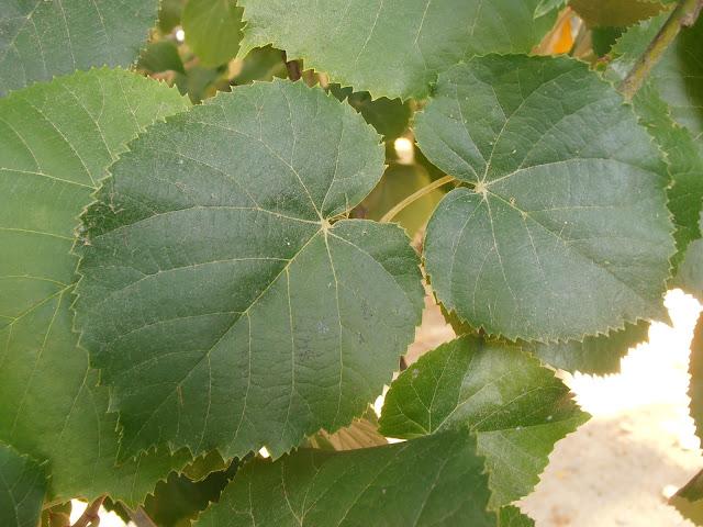 TILO PLATEADO: Tilia tomentosa