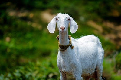 https://www.goatfarming.ooo/2018/07/abortion-or-miscarriage-in-goats.html