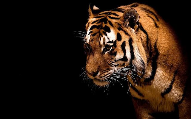 خلفيات,النمر,الحياة البرية,الحيوانات المفترسة,للمونتاج,انا الملك,نمر,كلنا النمر,عالم الحيوان,خلفيات جميلة,#مايا_والنمر,صور النمر,نمر النمر,#حادث_النمر,خلفيات فيديو,اقوى افتراس,#قصة_النمر,نمبر وان,الخلفيات