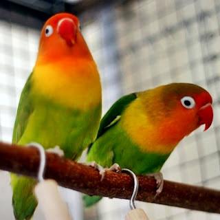 artikel cara membedakan atau perbedaan ciri lovebird jantan dan betina anakan, umur 1 2 3 bulan, secara fisik, dewasa, saat birahi, om kicau, yang lebih gacor