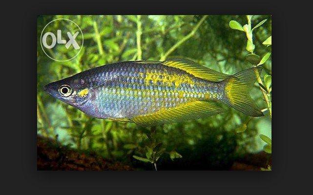 Jenis dan harga ikan rainbow irian