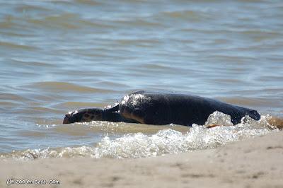 Tortuga boba entrando en el mar