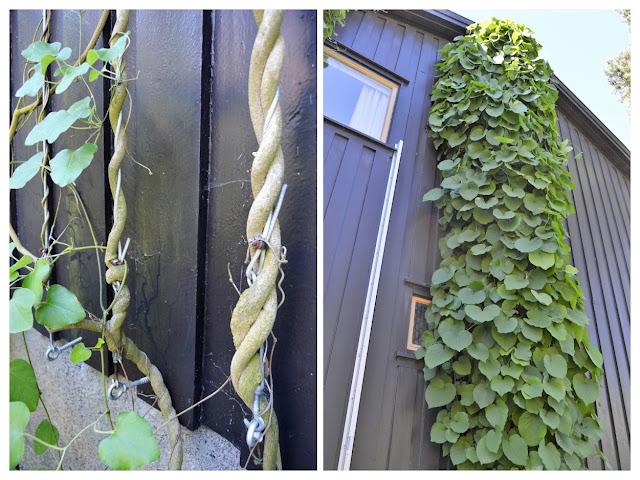 Se en hage i harmoni med seg selv - pipeholurt på klatreferd. Furulunden