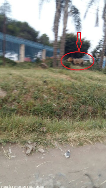 CAREFUL! Stray Lion Spotted Along City Cabanas On Mombasa Road (Video)