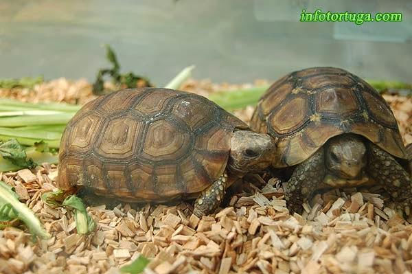 Kinixys belliana - Tortuga articulada de sabana