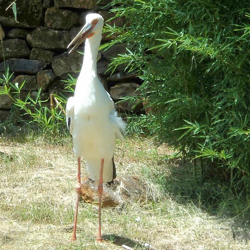 O Atento e Elegante Pelicano no Gramado Zoo