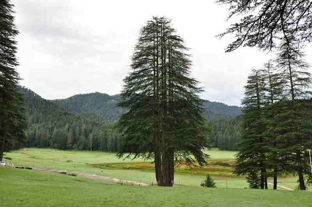 Pandav-tree-in-khajjiar