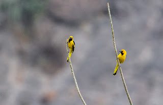 Yellow-tailed Oriole - Green Tours Peru