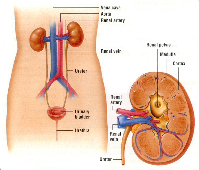 System Excretory Does Body Work System How