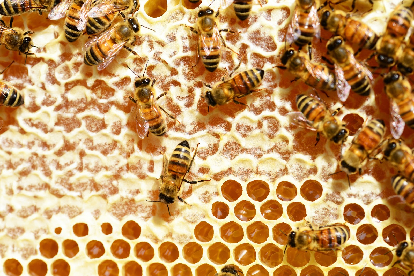 蜂の巣に留まる蜜蜂