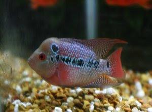 Cara Memilih Ikan Louhan
