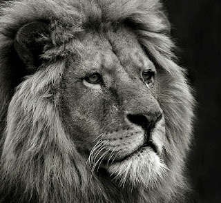 Amazing lion face