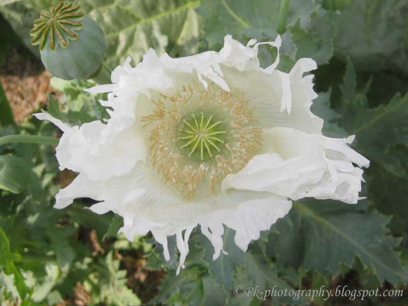 Opium poppy plant flowers and seed pods nature cultural and white poppy flower mightylinksfo