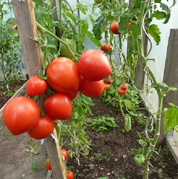 Cây trồng cà chua