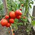 Trồng cây cà chua sạch - Rau sạch tại nhà