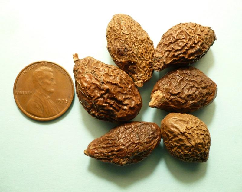 Hạt đười ươi là hạt gì ?