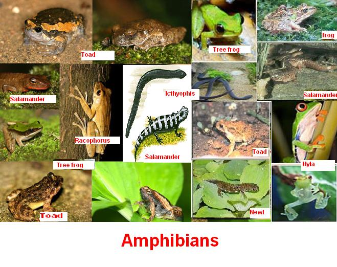 Crickets and Mealworms: What are Amphibians?