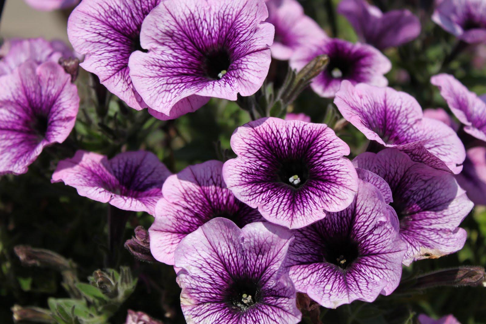 906 e chic 5 easy flowers to use for beginner gardener. Black Bedroom Furniture Sets. Home Design Ideas