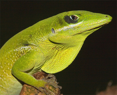 Twelve New Species Of Anolis Were Described In 2016