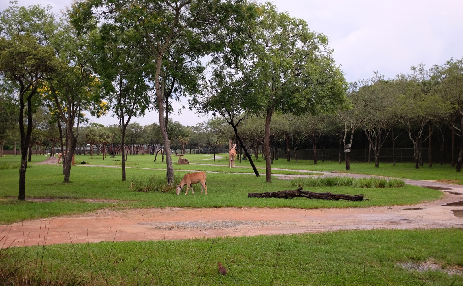 Wildlife enclosures at Disney's Animal Kingdom Lodge