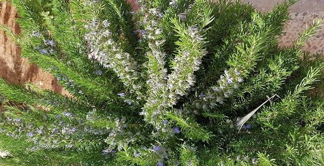إكليل الجبل أو اليازير  Rosmarinus officinalis