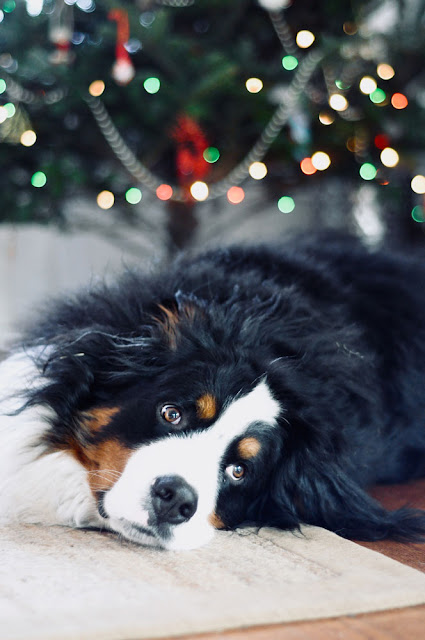 perfect holiday puppy