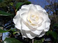 Beyaz kamelya çiçeği