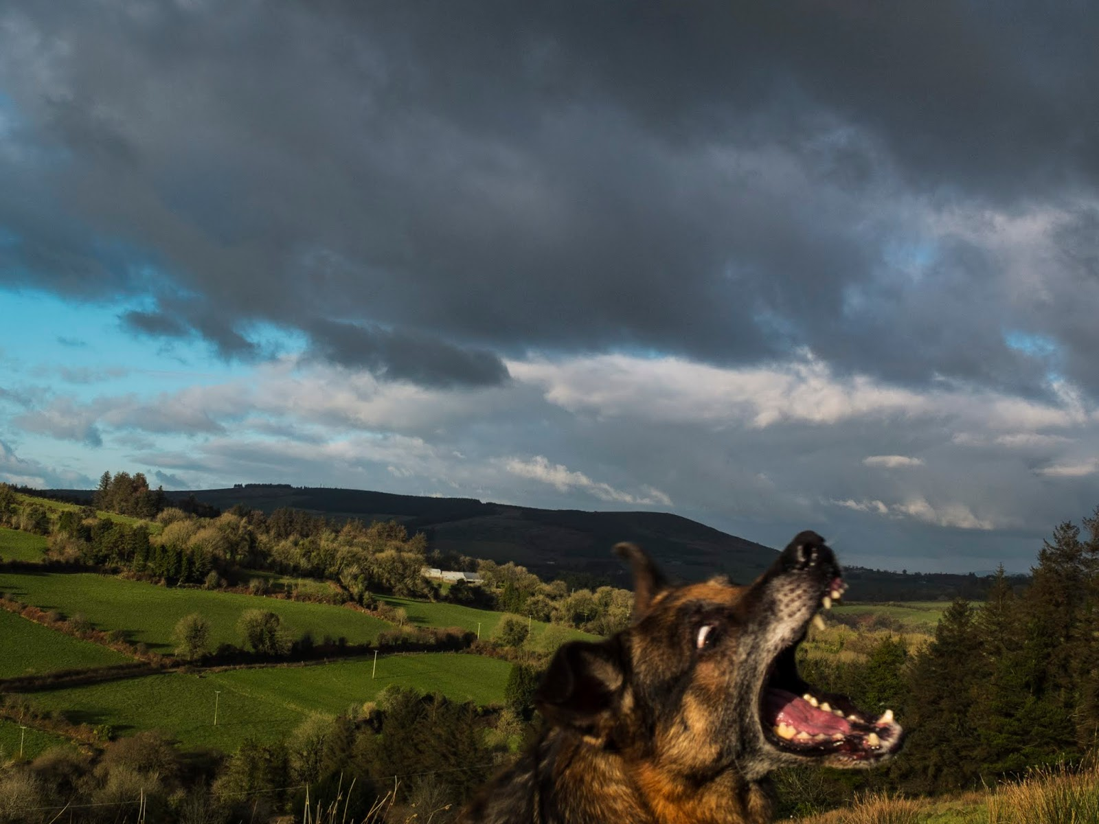 A German Shepherd with open jaws photo-bombing a landscape photograph.