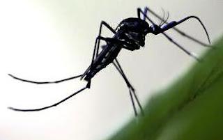 fotos de mosquito