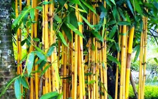 roots bamboo yellow